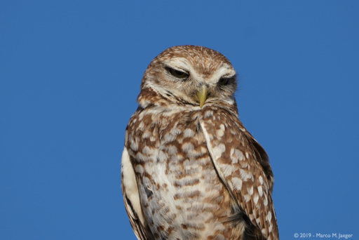 Burrowing Owls in Buckeye, AZ