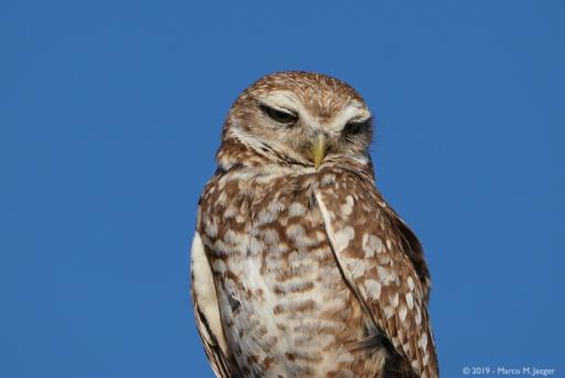 Burrowing Owls in Buckeye, AZ