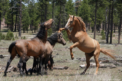 Wildhorses in Heber